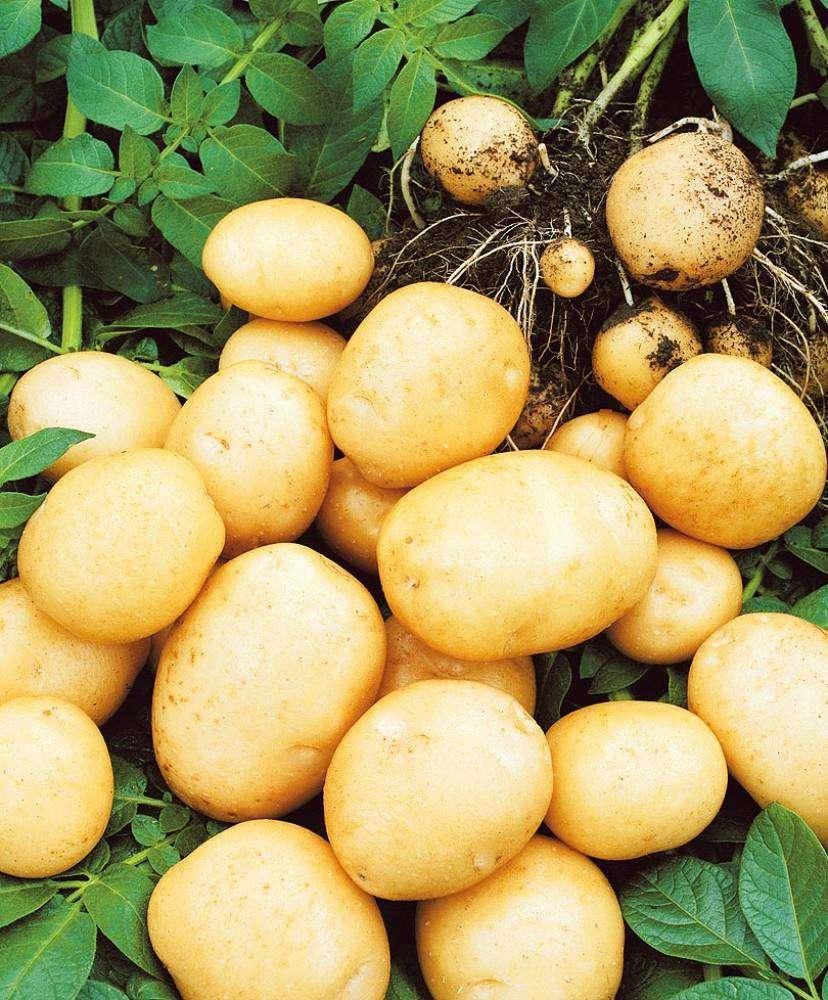голубизна картофель характеристика