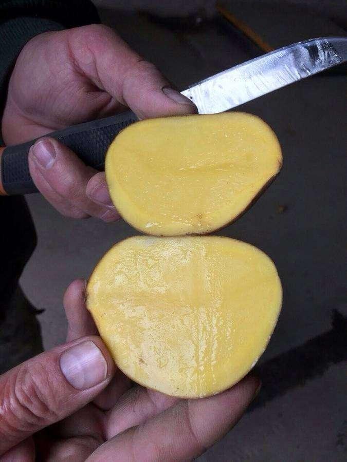 сорт картофеля джелли характеристика отзывы