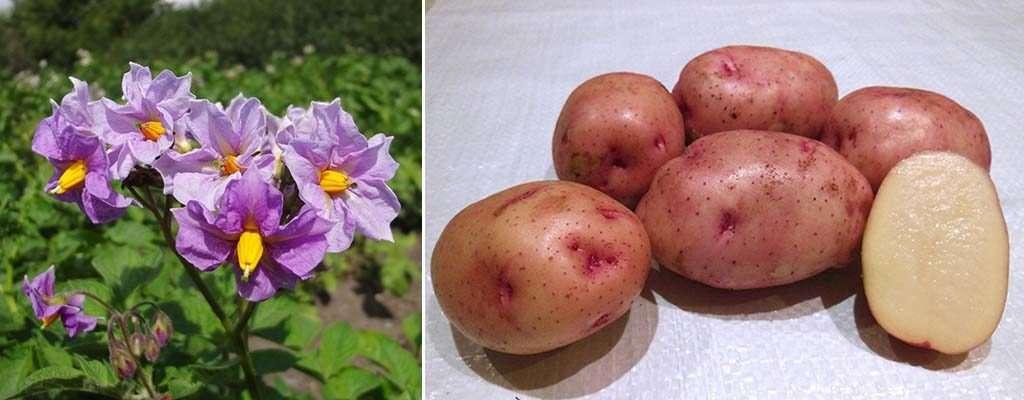 картофель жуковский ранний описание сорта фото отзывы