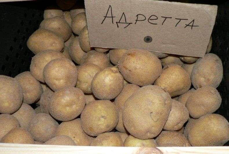 картофель желтый рассыпчатый сорта