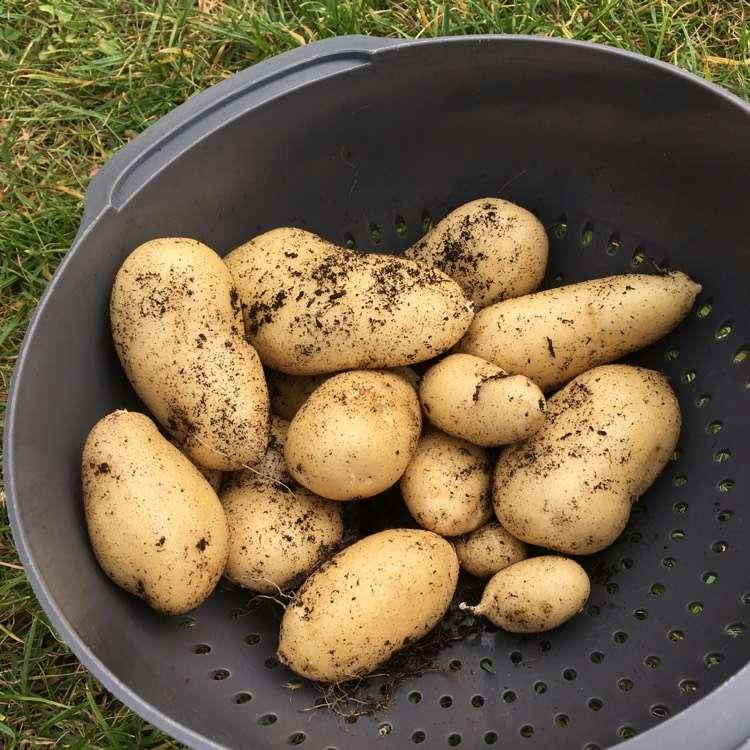картофель горняк описание сорта фото отзывы