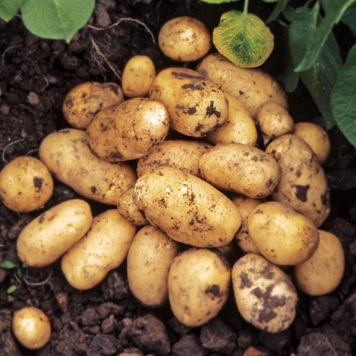 картофель гранада описание сорта