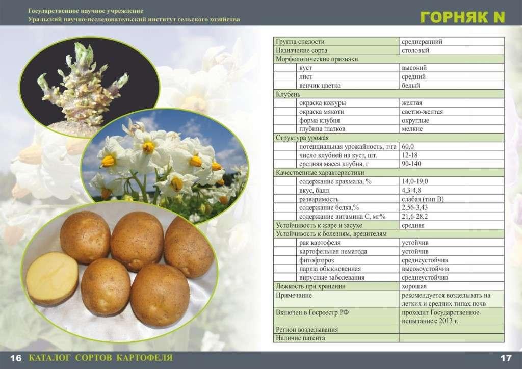 горняк картофель характеристика