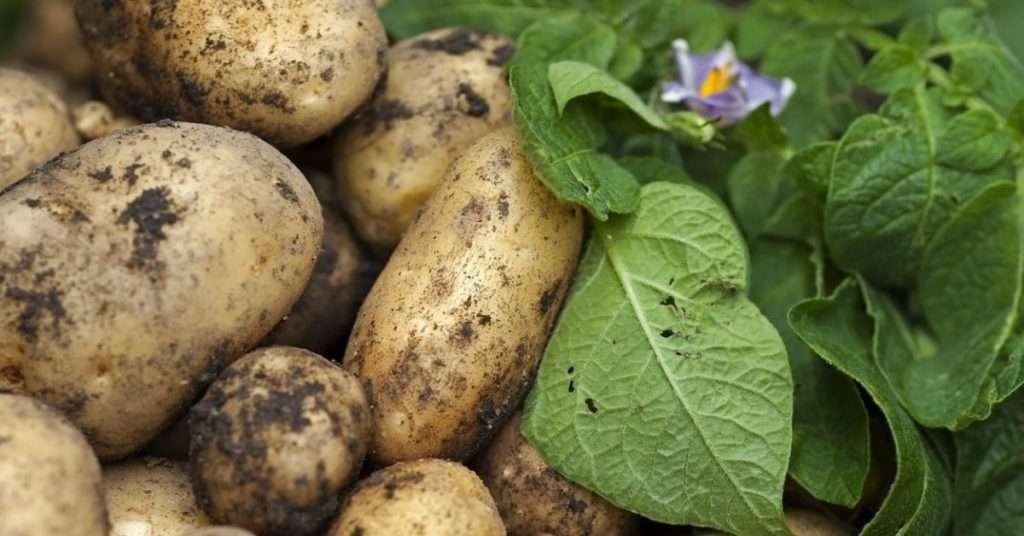 сорт картофеля великан характеристика
