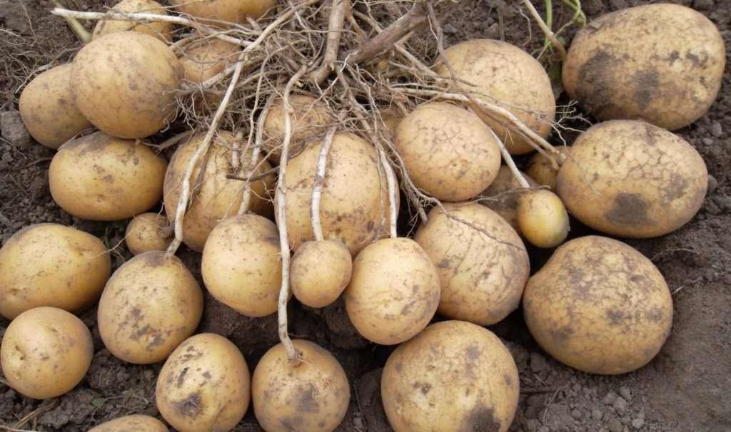 картофель елизавета описание сорта фото отзывы