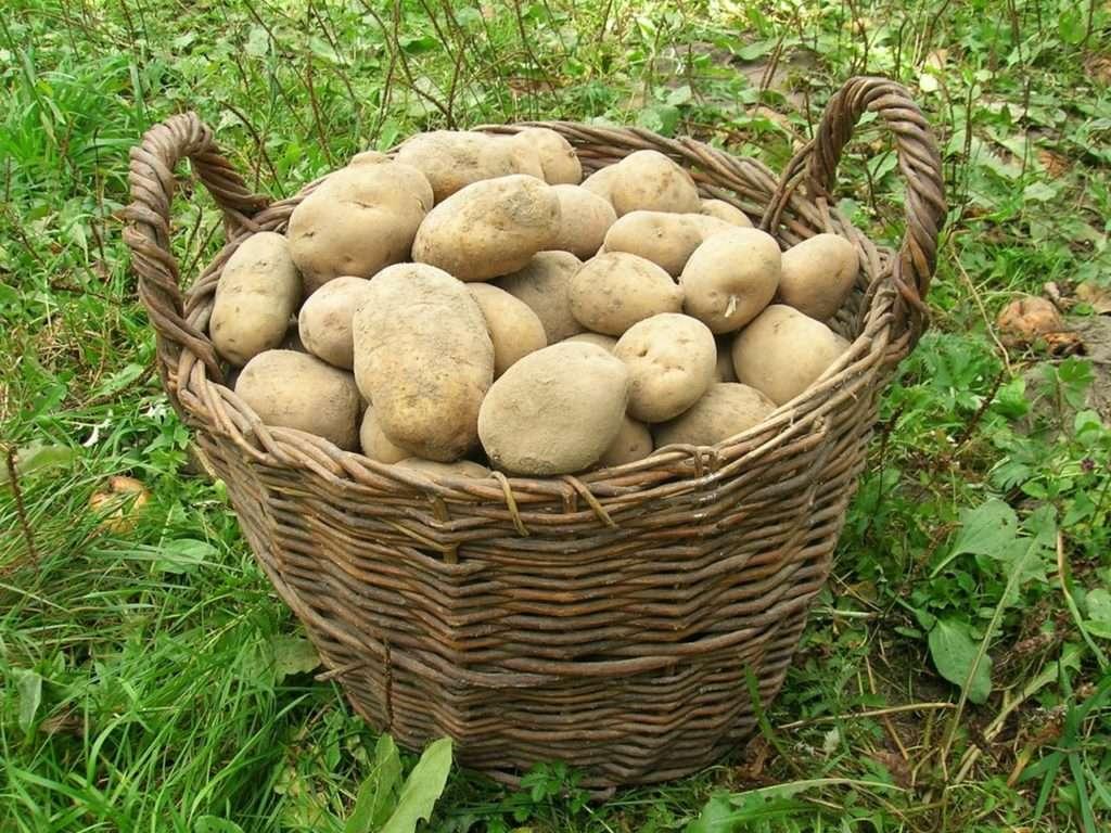 картофель елизавета характеристика сорта отзывы