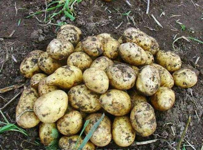желтые сорта картофеля фото и описание