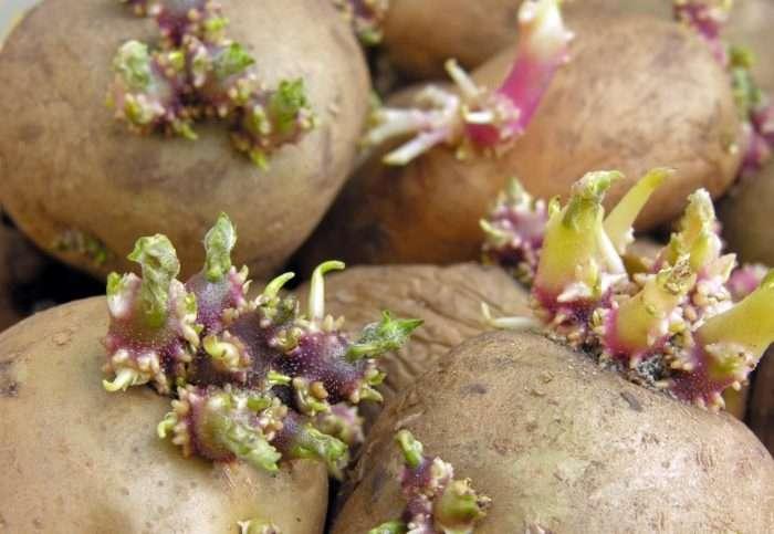 картофель сорт гранада отзывы