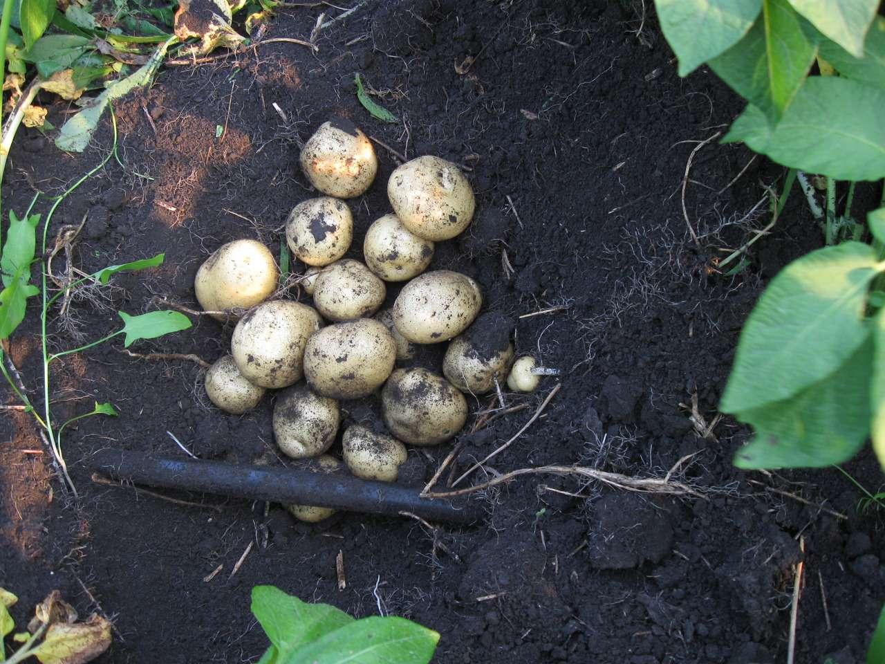 картофель елизавета описание сорта отзывы