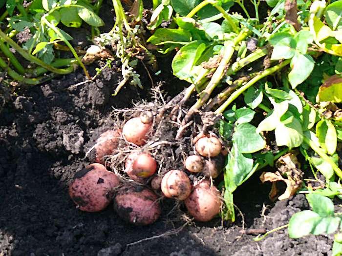 сорт картофеля жуковский ранний фото