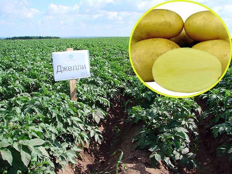 картофель джелли описание сорта фото