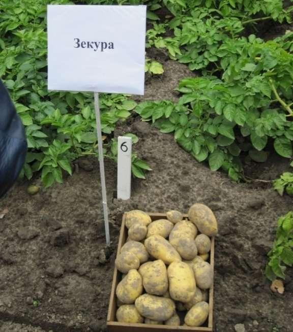 картофель зекура описание отзывы