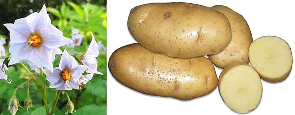 картофель семенной зекура