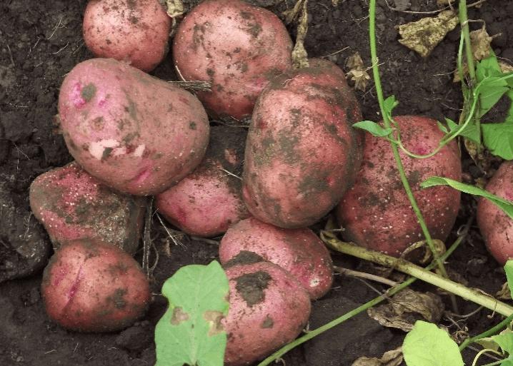 журавинка картофель характеристика отзывы