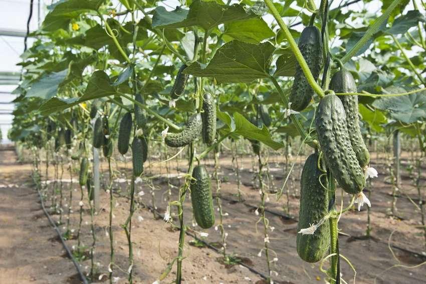 огурцы на шпалере выращивание