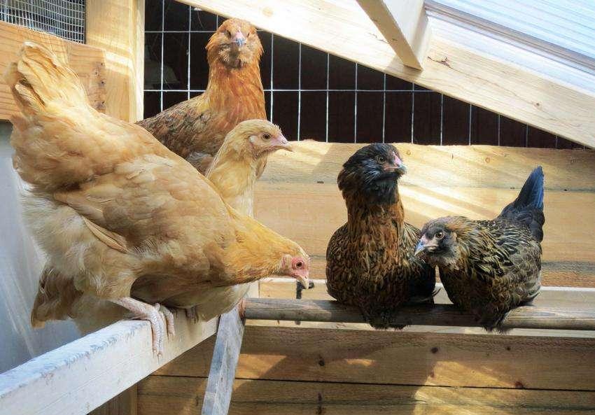 гнезда для кур с яйцесборником чертежи