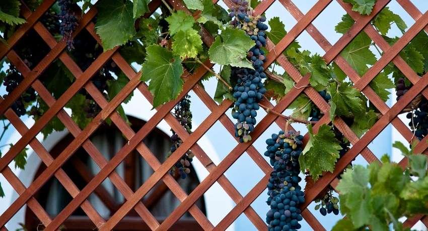 декоративные шпалеры для винограда
