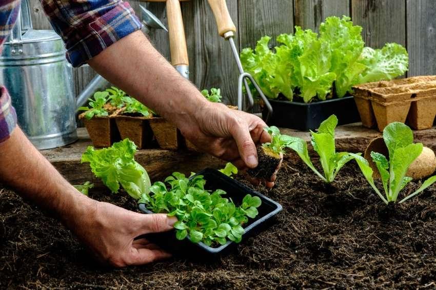 соседство овощей на грядках в огороде